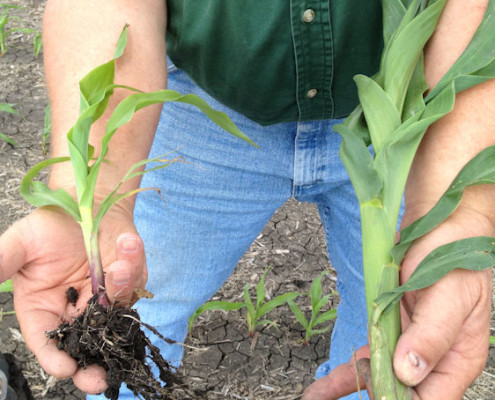Treated versus Untreated roots