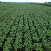 Soybean Field early in season