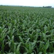 Dark green healthy corn field