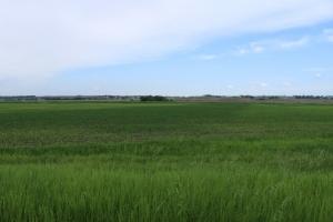 Corn Field with Gypsum Applied